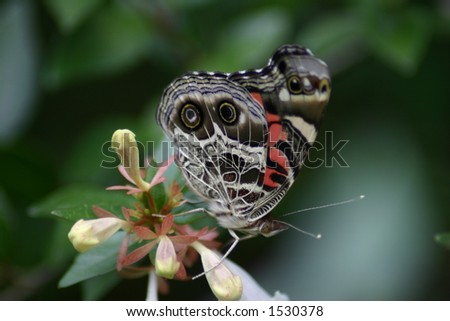 American Painted Lady - stock photo