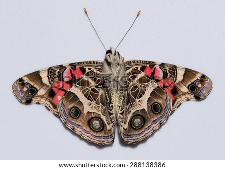 American painted lady bottom side - stock photo