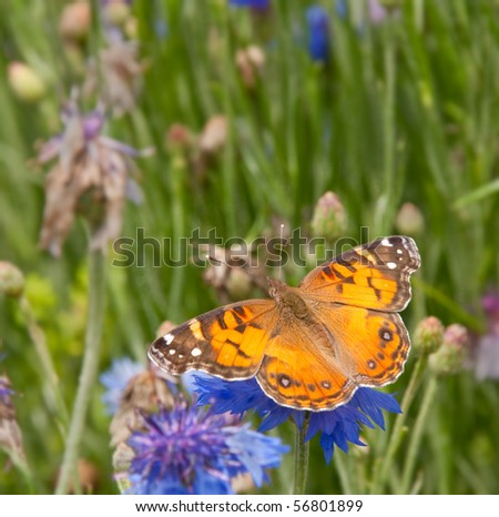 American Painted Lady Butterfly feeding on blue Corn flower - stock photo