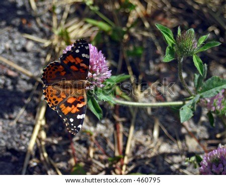 American Painted Lady on clover blossom in Black Hills, South Dakota - stock photo