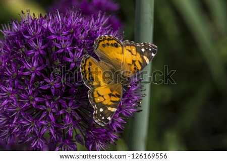 American Painted Lady or American Lady (Vanessa virginiensis) butterfly