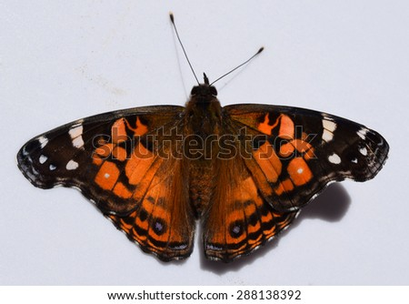 American painted lady top side - stock photo