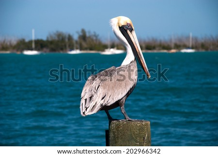 American Pelican in the bay of the Everglades National Park, Florida.  - stock photo