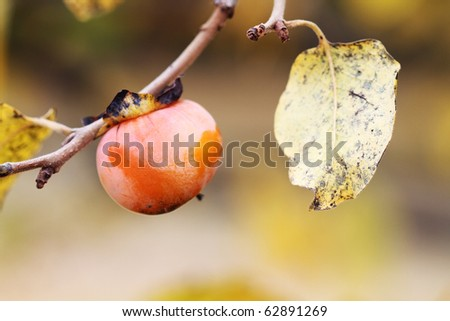 American Persimmon fruit in the fall. Extreme shallow DOF. - stock photo