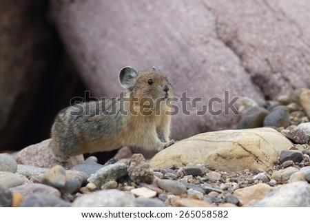 American Pika (Ochotona princeps) - Jasper National Park, Canada - stock photo