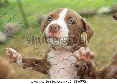 American Pit Bull Terrier as small and sweet dog - stock photo