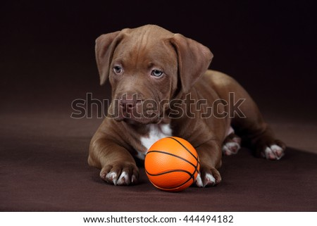 American Pit Bull Terrier Cute Puppy with ball - stock photo