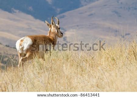 American Pronghorn (National Bison Range Wildlife Refuge, Montana) - stock photo