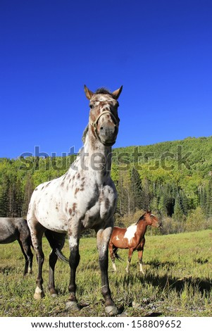 American quarter horse in a field, Rocky Mountains, Colorado, USA - stock photo