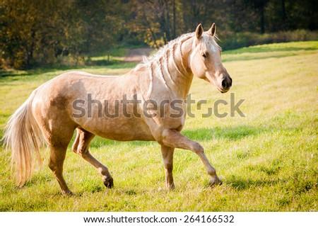 American Quarter Horse mare - stock photo