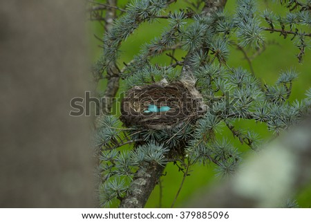 American Robin Blue Eggs in a Nest - stock photo