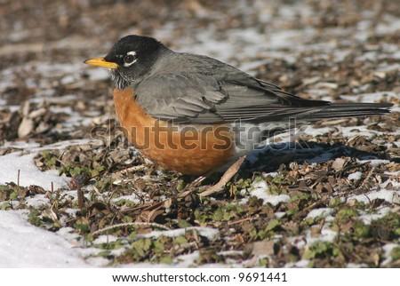 american robin in spring, snow melting - stock photo