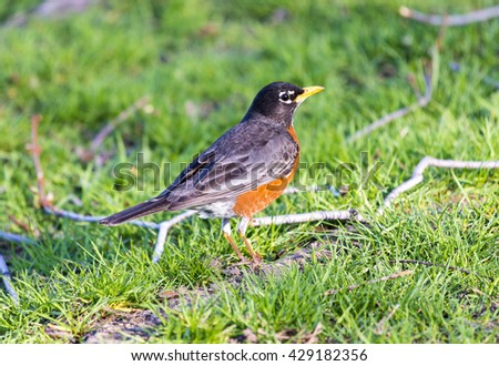 American Robin or Turdus migratorius in the ground. Small bird walking on grass. Beautiful birds are a typical view of the spring season. - stock photo