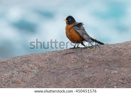 American Robin standing on a rock by the sea.