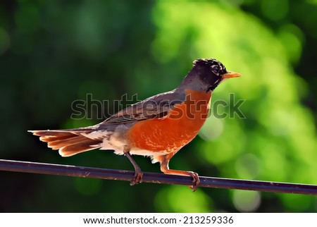 American robin (Turdus migratorius) illustration - stock photo