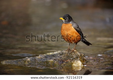 American Robin (Turdus migratorius migratorius), Eastern subspecies, male resting on a rock after a bath in New York City's Central Park.