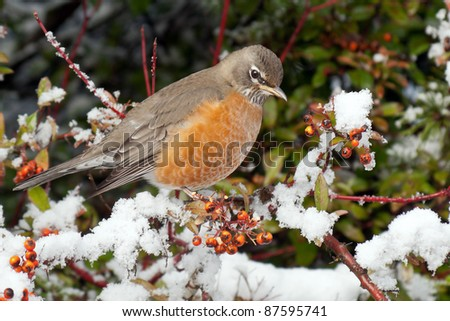 American Robin (Turdus migratorius) perched on a tree with berries and covered with snow.