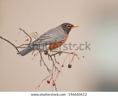 American robin, Turdus migratorius, perched on branch of ash tree with red berries - stock photo
