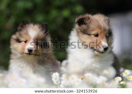 American Shetland Sheepdog puppys - stock photo