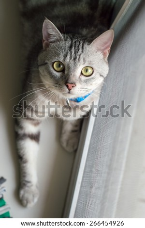 American Short Hair cat looks at the camera from the bottom up - stock photo