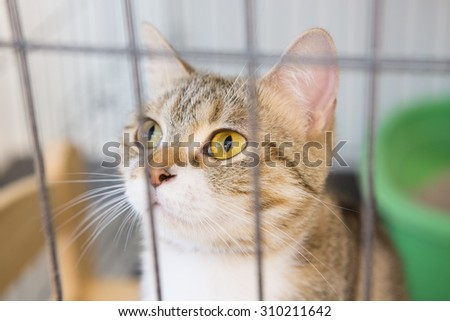 American Short Haired cat in cage