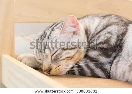 American Short Haired cat sleeping on wooden box