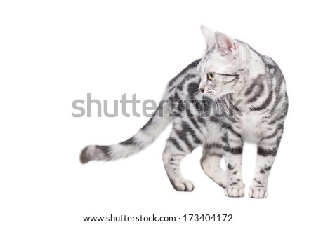 American Shorthair Cat walking and looking at someting