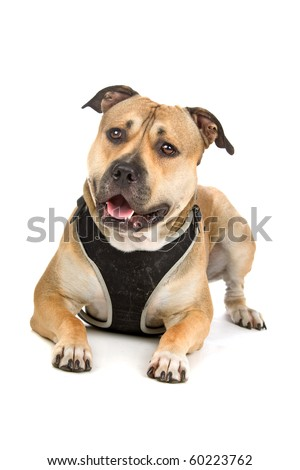 american stafford dog isolated on a white background - stock photo