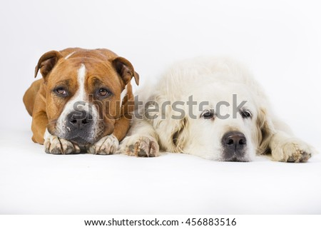 American staffordshire terrier and golden retriever