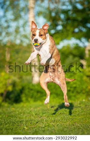American staffordshire terrier dog catching ball in the air - stock photo