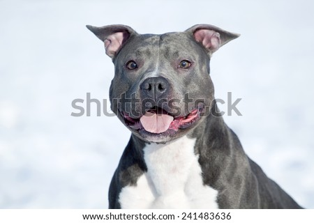American Staffordshire terrier dog in winter - stock photo