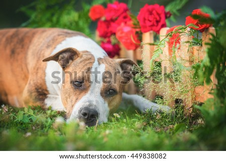 American staffordshire terrier dog lying near a garden fence - stock photo