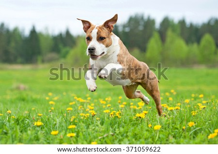 American staffordshire terrier dog playing on the field  - stock photo