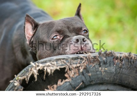 American staffordshire terrier dog playing with a tire of the wheel - stock photo