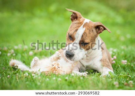 American staffordshire terrier dog playing with little kitten - stock photo