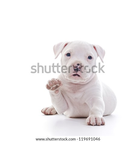 American Staffordshire Terrier Dog Puppy waving while laying - stock photo