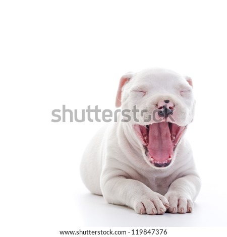 American Staffordshire Terrier Dog Puppy yawning - stock photo