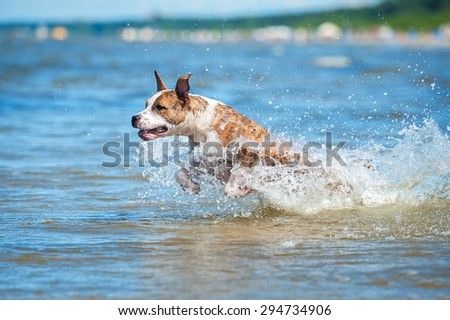 American staffordshire terrier dog running in water - stock photo