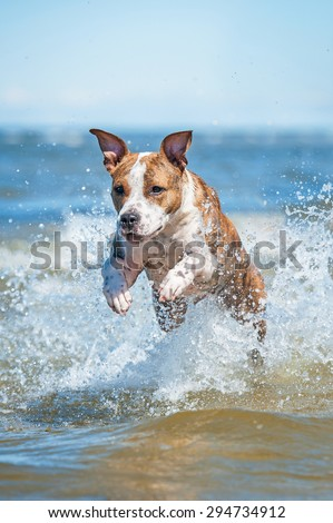 American staffordshire terrier dog running with a lot of splashing in the water among the waves of the sea  - stock photo