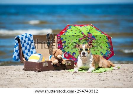 American staffordshire terrier dog taking a sunbathe lying on a towel under the umbrella - stock photo