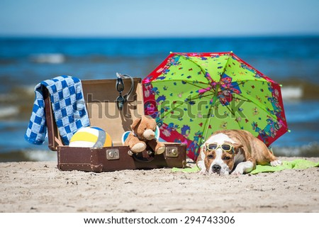 American staffordshire terrier dog taking a sunbathe on the beach surrounded by many things for summer holiday  - stock photo