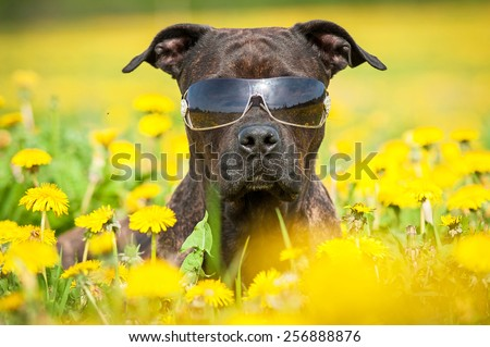 American staffordshire terrier dog wearing sunglasses  - stock photo