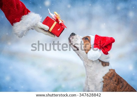 American staffordshire terrier dog with a christmas hat taking a present from Santa's hand - stock photo