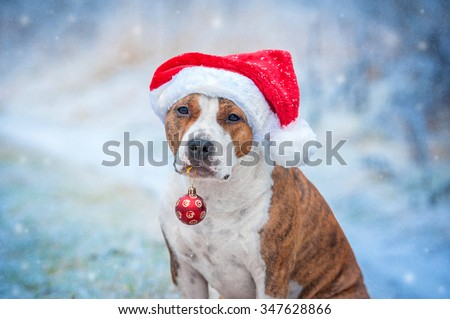 American staffordshire terrier dog with a santa claus hat and a christmas ball in its mouth  sitting outdoors in winter - stock photo