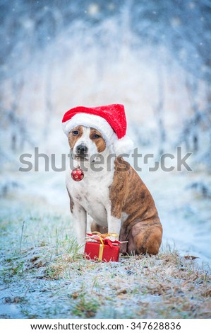 American staffordshire terrier dog with a santa claus hat, christmas present and a christmas ball sitting outdoors in winter - stock photo