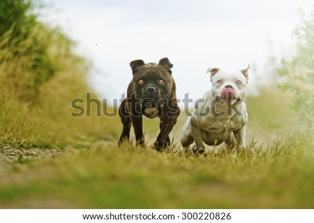 American Staffordshire Terrier dog with fun Staffordshire Bull Terrier puppy running in summer - stock photo