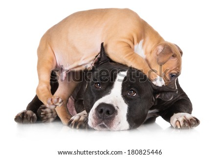 american staffordshire terrier dog with her puppy - stock photo