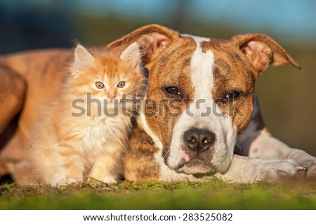 American staffordshire terrier dog with little kitten - stock photo