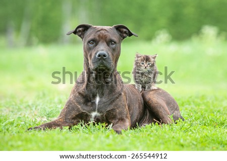 American staffordshire terrier dog with little kitten on its back - stock photo