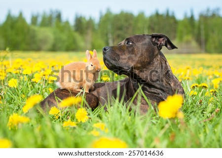 American staffordshire terrier dog with little rabbit sitting on its back - stock photo